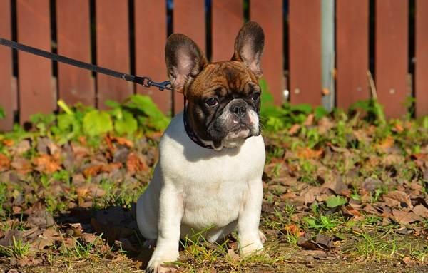 Мопс-собака-Описание-особенности-уход-и-содержание-мопса-7