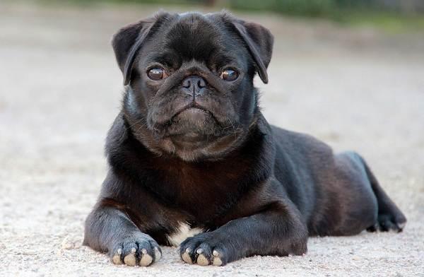 Мопс-собака-Описание-особенности-уход-и-содержание-мопса-9