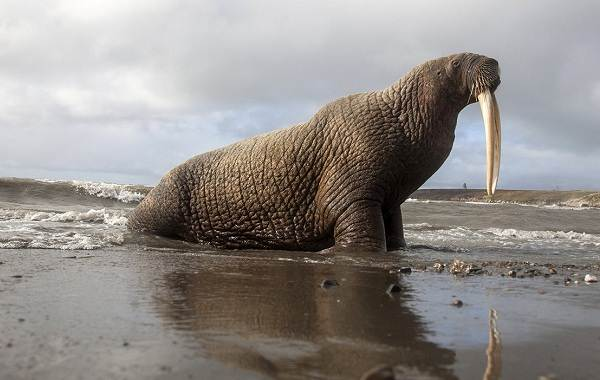 Морж-животное-Описание-особенности-виды-образ-жизни-и-среда-обитания-моржа-1