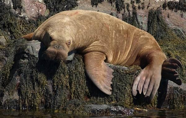 Морж-животное-Описание-особенности-виды-образ-жизни-и-среда-обитания-моржа-10