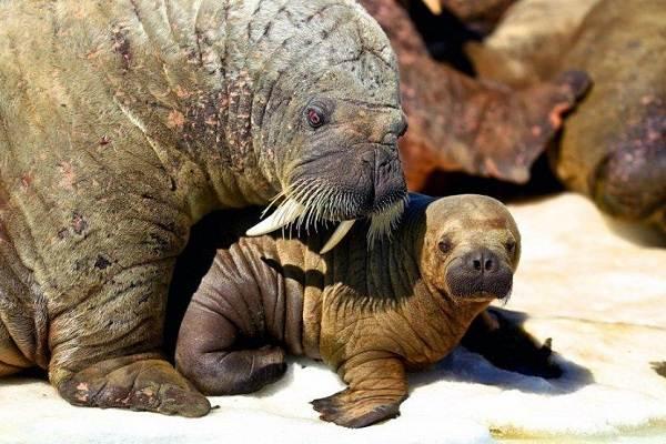 Морж-животное-Описание-особенности-виды-образ-жизни-и-среда-обитания-моржа-11