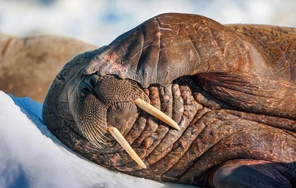 Морж-животное-Описание-особенности-виды-образ-жизни-и-среда-обитания-моржа-13