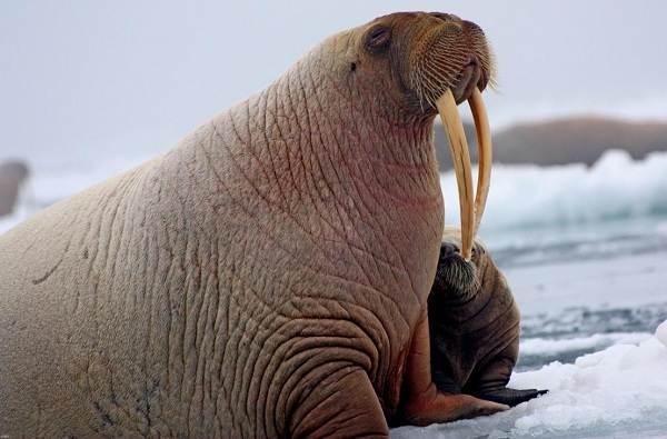 Морж-животное-Описание-особенности-виды-образ-жизни-и-среда-обитания-моржа-3
