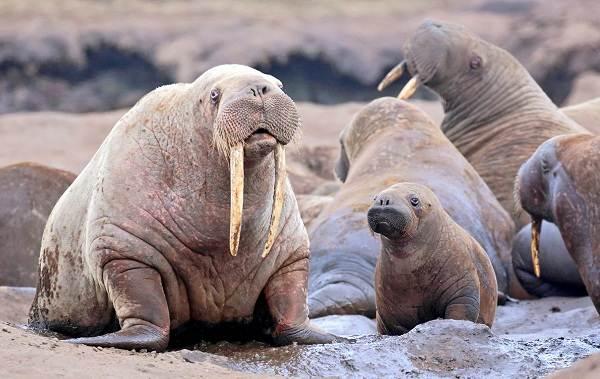 Морж-животное-Описание-особенности-виды-образ-жизни-и-среда-обитания-моржа-4