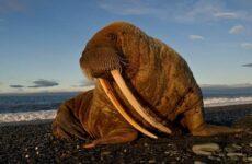 Морж животное. Описание, особенности, виды, образ жизни и среда обитания моржа