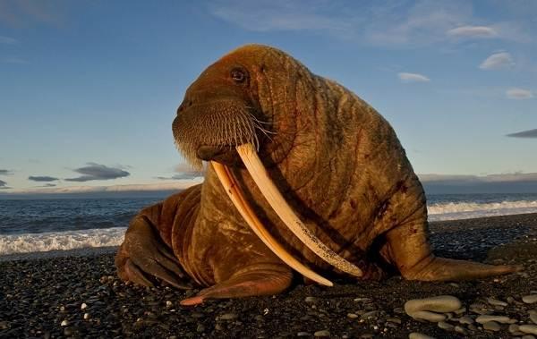 Морж-животное-Описание-особенности-виды-образ-жизни-и-среда-обитания-моржа-7