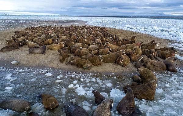 Морж-животное-Описание-особенности-виды-образ-жизни-и-среда-обитания-моржа-8