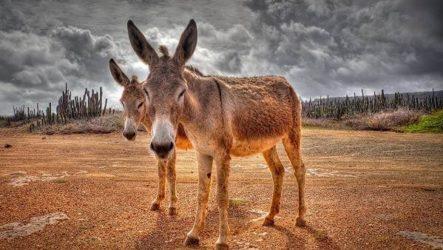 Осёл животное. Описание, особенности, образ жизни и среда обитания осла