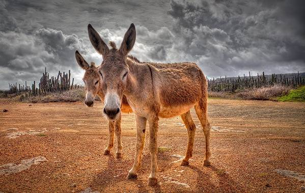 Осёл-животное-Описание-особенности-образ-жизни-и-среда-обитания-осла-10
