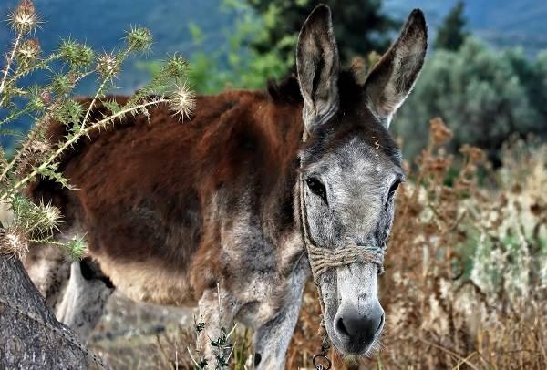 Осёл-животное-Описание-особенности-образ-жизни-и-среда-обитания-осла-13