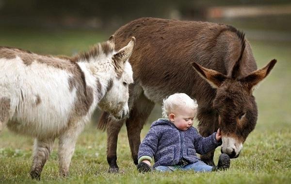 Осёл-животное-Описание-особенности-образ-жизни-и-среда-обитания-осла-15