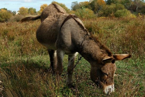 Осёл-животное-Описание-особенности-образ-жизни-и-среда-обитания-осла-18