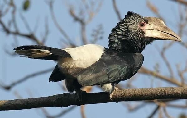 Птица-носорог-Описание-особенности-образ-жизни-и-среда-обитания-птицы-носорог-14