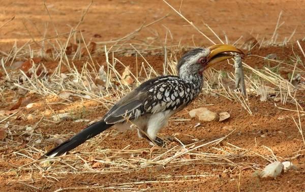 Птица-носорог-Описание-особенности-образ-жизни-и-среда-обитания-птицы-носорог-18