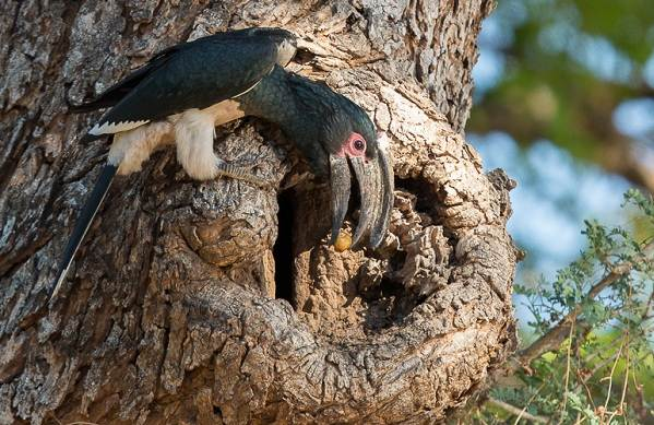 Птица-носорог-Описание-особенности-образ-жизни-и-среда-обитания-птицы-носорог-21