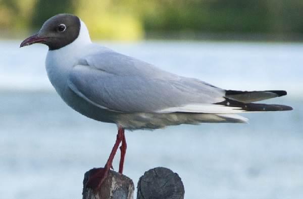 Птицы-озёр-Описания-названия-виды-и-особенности-птиц-живущих-на-озерах-1