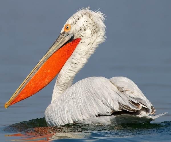 Птицы-озёр-Описания-названия-виды-и-особенности-птиц-живущих-на-озерах-14