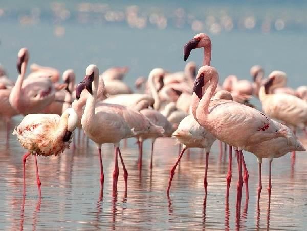 Птицы-озёр-Описания-названия-виды-и-особенности-птиц-живущих-на-озерах-16