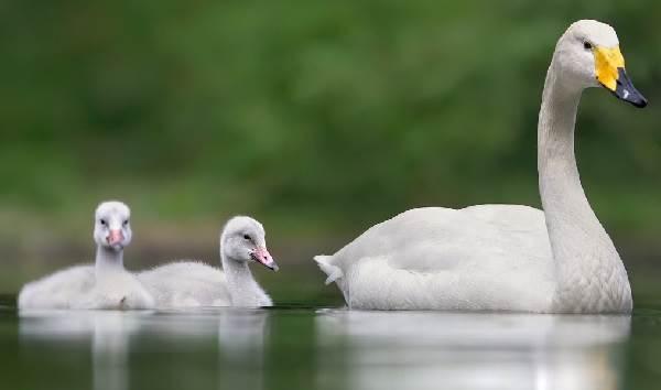 Птицы-озёр-Описания-названия-виды-и-особенности-птиц-живущих-на-озерах-3