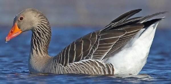 Птицы-озёр-Описания-названия-виды-и-особенности-птиц-живущих-на-озерах-8