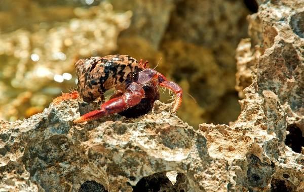 Рак-отшельник-его-особенности-образ-жизни-и-среда-обитания-2