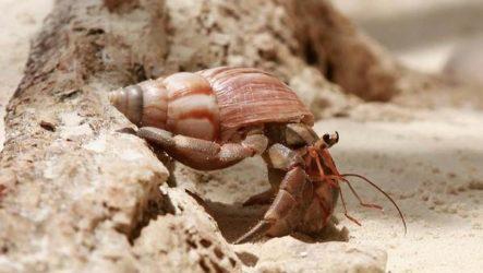 Рак-отшельник, его особенности, образ жизни и среда обитания