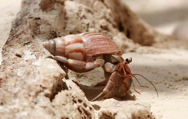 Рак-отшельник-его-особенности-образ-жизни-и-среда-обитания-3