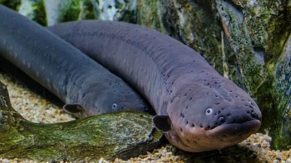 Рыбы-без-чешуи-их-особенности-виды-и-названия-4