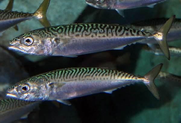 Рыбы-без-чешуи-их-особенности-виды-и-названия-7