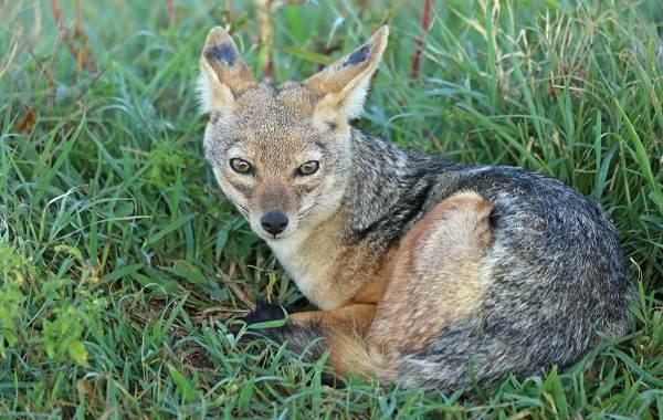 Шакал-животное-Описание-особенности-виды-образ-жизни-и-среда-обитания-шакала-10
