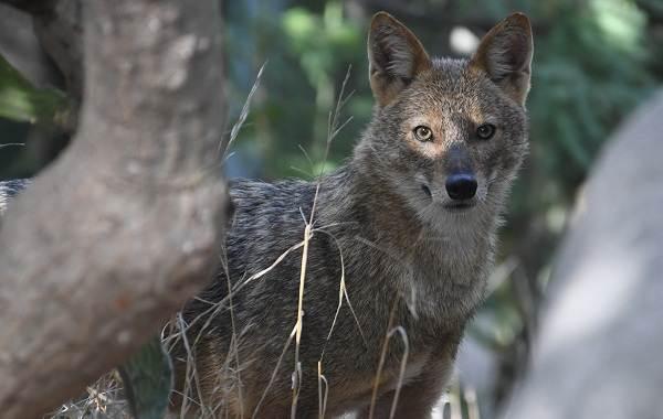 Шакал-животное-Описание-особенности-виды-образ-жизни-и-среда-обитания-шакала-11
