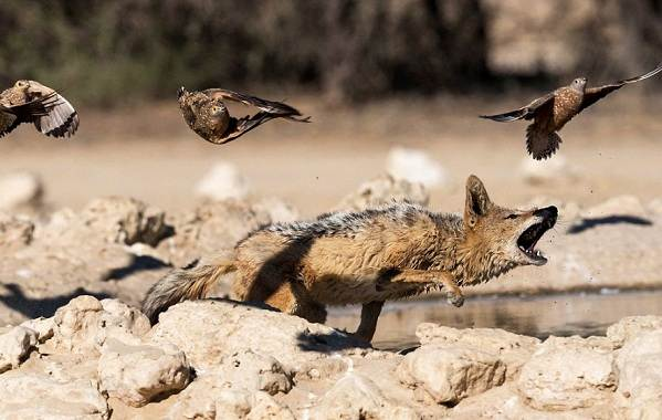 Шакал-животное-Описание-особенности-виды-образ-жизни-и-среда-обитания-шакала-12