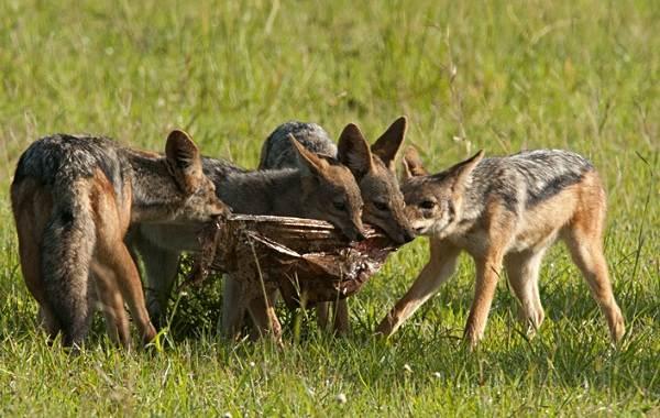 Шакал-животное-Описание-особенности-виды-образ-жизни-и-среда-обитания-шакала-13