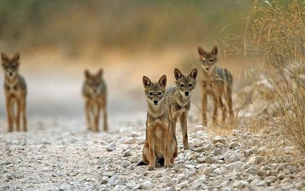Шакал-животное-Описание-особенности-виды-образ-жизни-и-среда-обитания-шакала-14