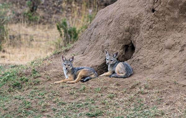 Шакал-животное-Описание-особенности-виды-образ-жизни-и-среда-обитания-шакала-15