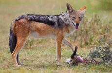 Шакал животное. Описание, особенности, виды, образ жизни и среда обитания шакала