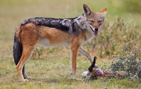 Шакал-животное-Описание-особенности-виды-образ-жизни-и-среда-обитания-шакала-2