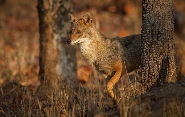 Шакал-животное-Описание-особенности-виды-образ-жизни-и-среда-обитания-шакала-3