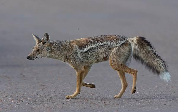 Шакал-животное-Описание-особенности-виды-образ-жизни-и-среда-обитания-шакала-6