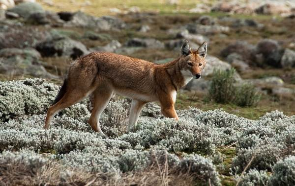 Шакал-животное-Описание-особенности-виды-образ-жизни-и-среда-обитания-шакала-7