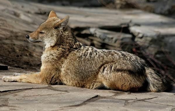 Шакал-животное-Описание-особенности-виды-образ-жизни-и-среда-обитания-шакала-8