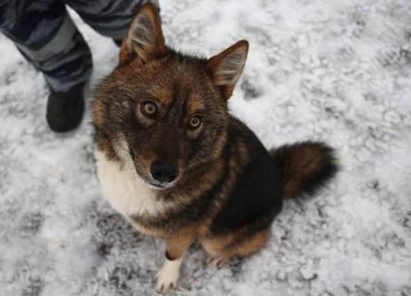 Собака-Сулимова-Описание-особенности-уход-и-содержание-породы-1