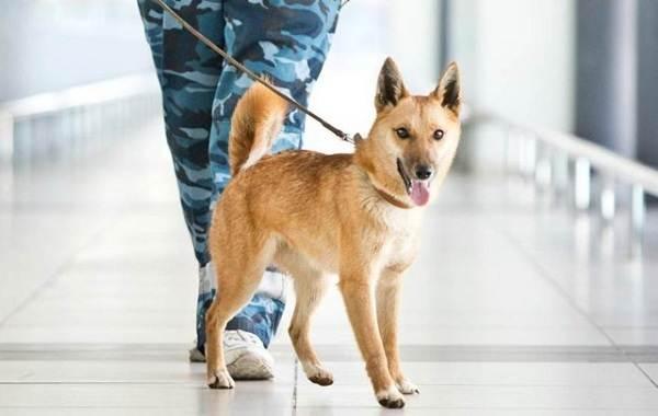 Собака-Сулимова-Описание-особенности-уход-и-содержание-породы-2