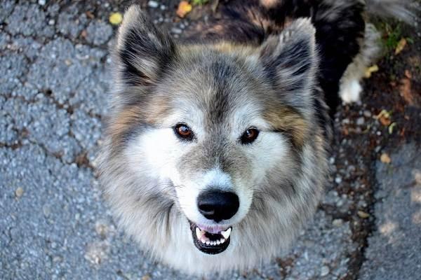 Собака-Сулимова-Описание-особенности-уход-и-содержание-породы-3