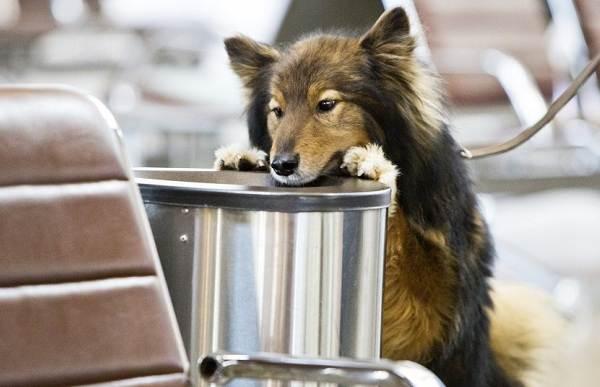 Собака-Сулимова-Описание-особенности-уход-и-содержание-породы-5