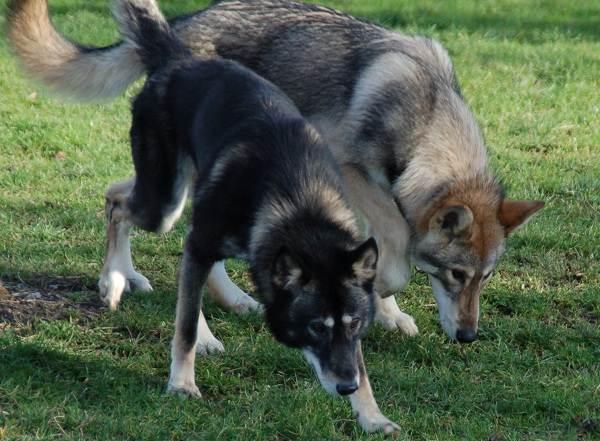 Собака-Сулимова-Описание-особенности-уход-и-содержание-породы-6