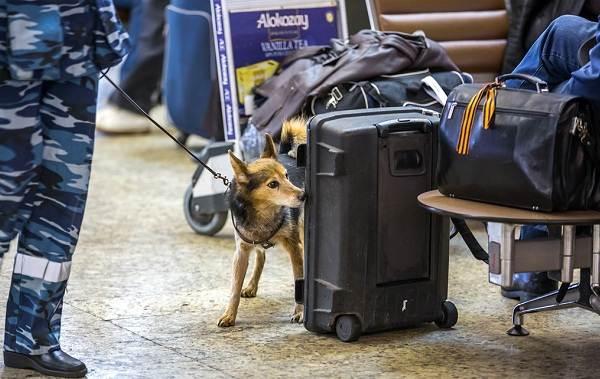 Собака-Сулимова-Описание-особенности-уход-и-содержание-породы-8