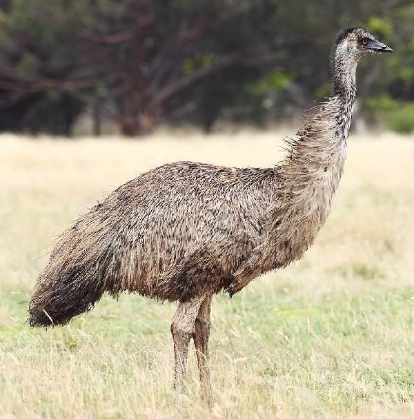 Страус-эму-птица-Описание-особенности-образ-жизни-и-среда-обитания-эму-1