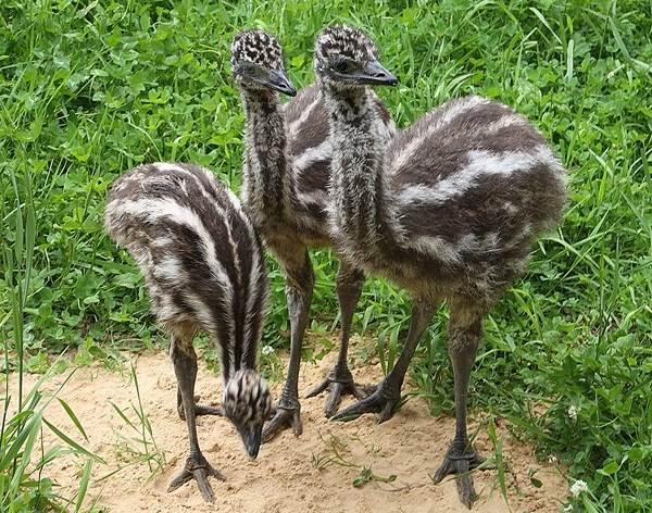 Страус-эму-птица-Описание-особенности-образ-жизни-и-среда-обитания-эму-2