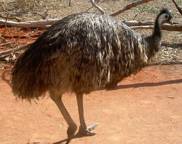Страус-эму-птица-Описание-особенности-образ-жизни-и-среда-обитания-эму-3